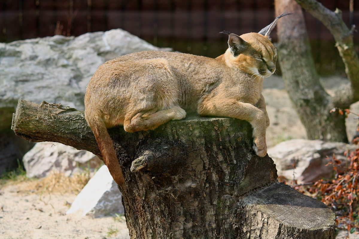 Caracals have little need for water.