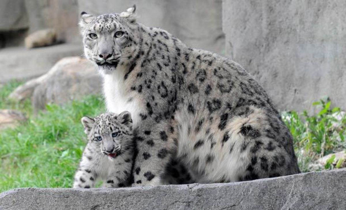 Snow leopard found in Spiti