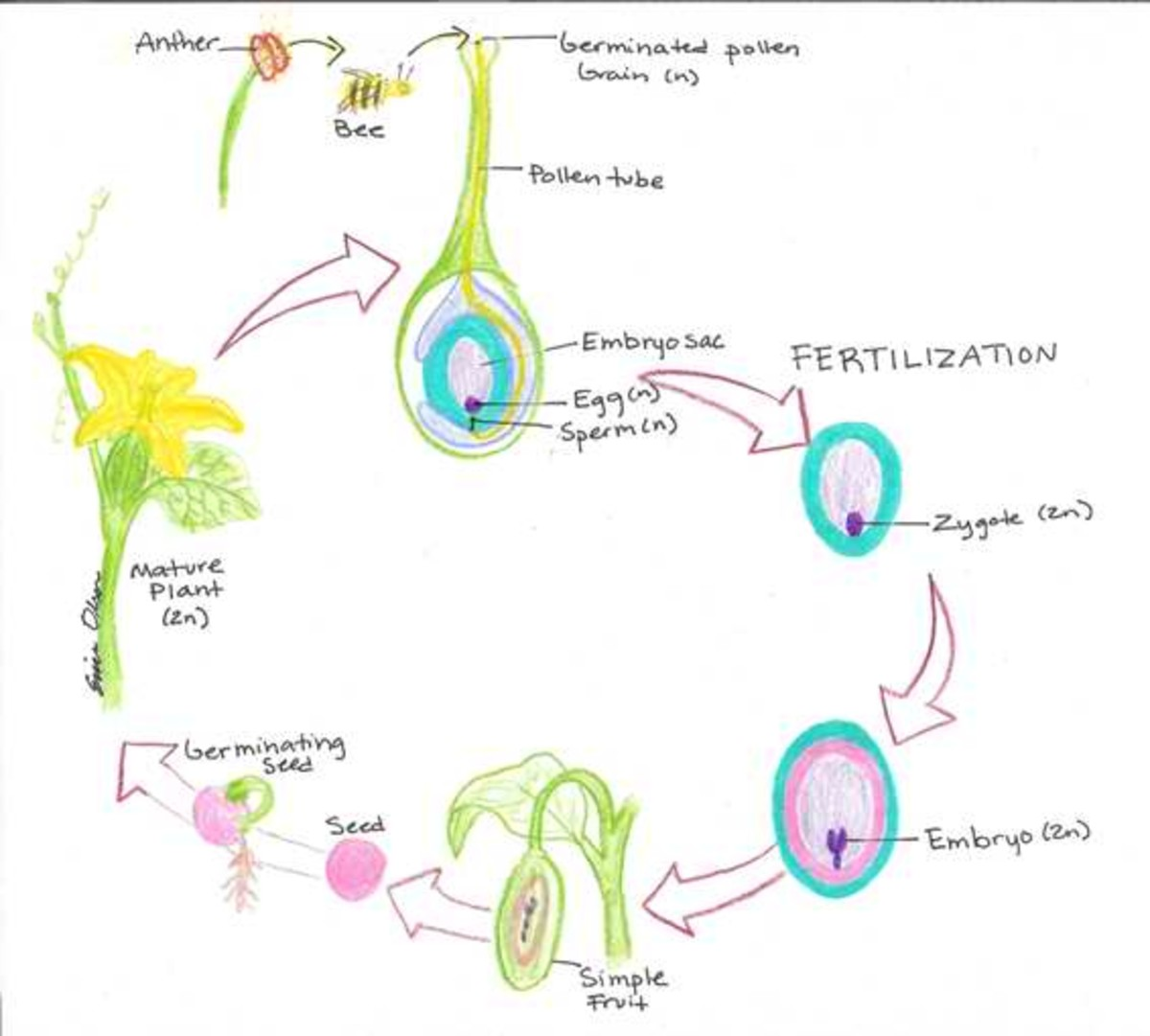 Formation of Sperm on Flowers