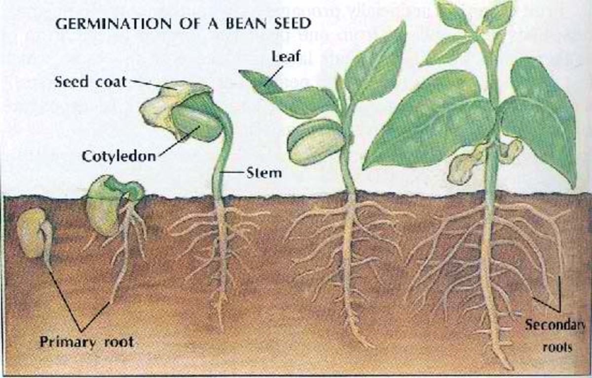 Germination of Seed