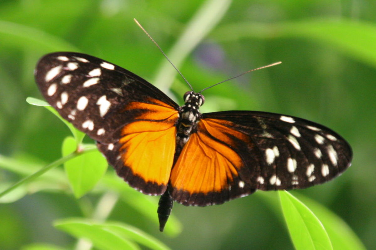 Heliconius hecale, one of many butterflies that feeds on Passiflora.