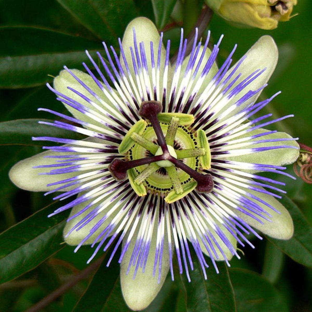 Passiflora caerulea flower.