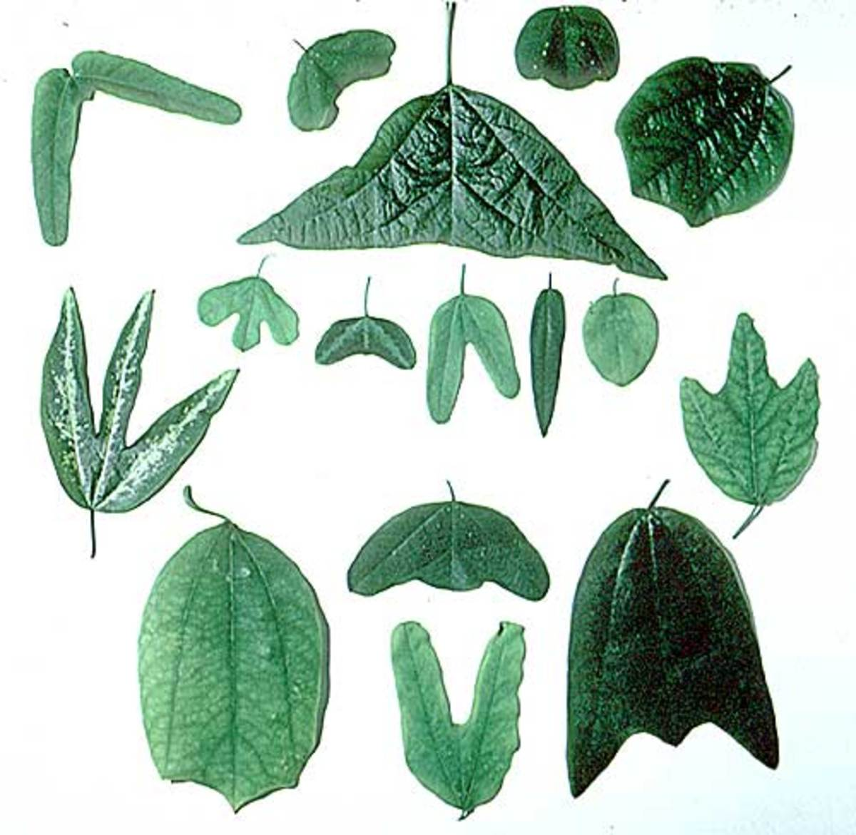 Diversity of Passiflora leaf shapes.
