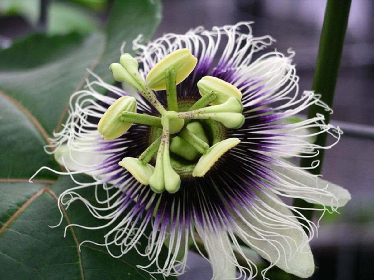 Detail on the flower of Passion edulis.