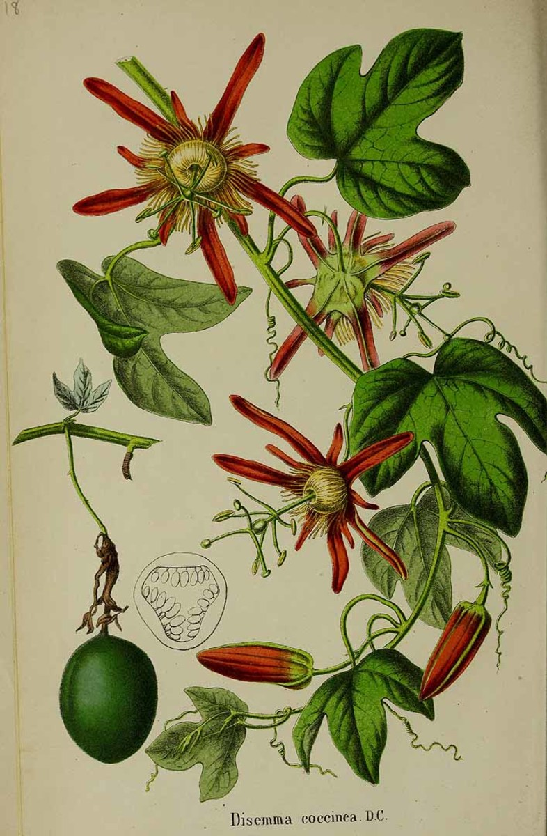 1807 drawing of Passiflora coccinea, the scarlet passion flower.
