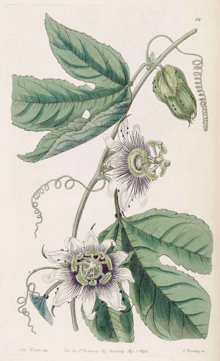 1840 drawing of the famous passion fruit, Passiflora edulis.