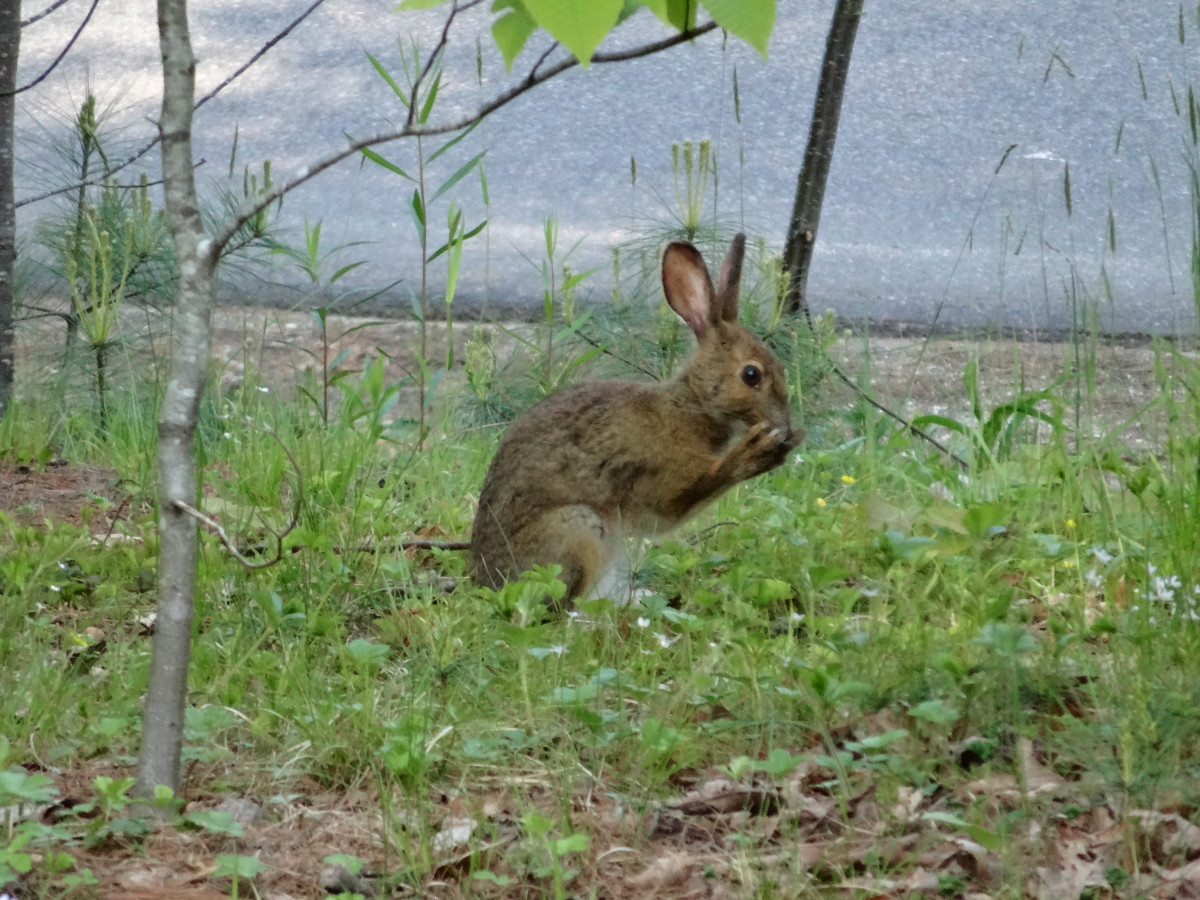 Keeping groundhogs and rabbits out of your garden hubpages - How to keep rabbits out of a garden ...