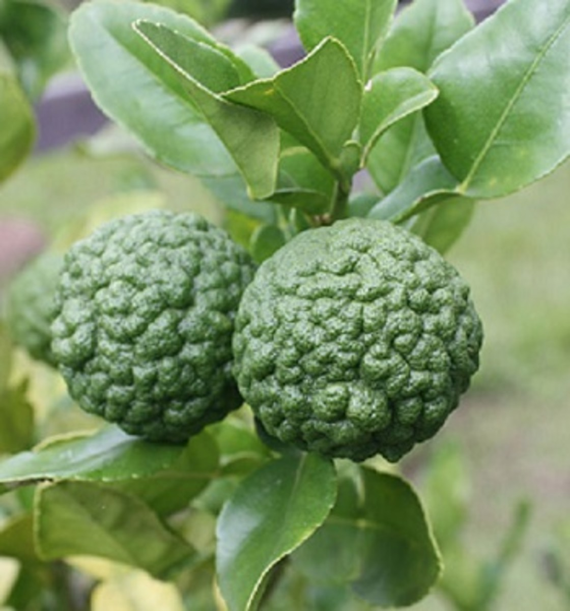 Makrut Lime: An Lesser-Known Lime with Amazing Benefits