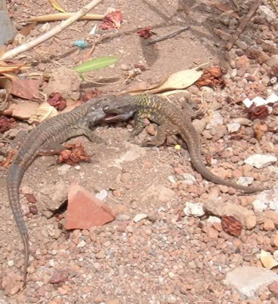 Tenerife Lizard males fighting