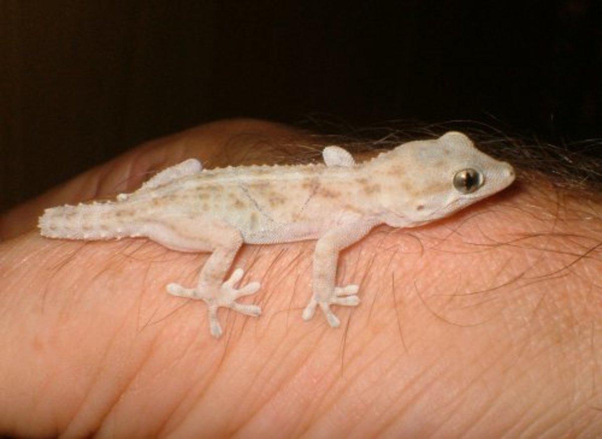Turkish gecko