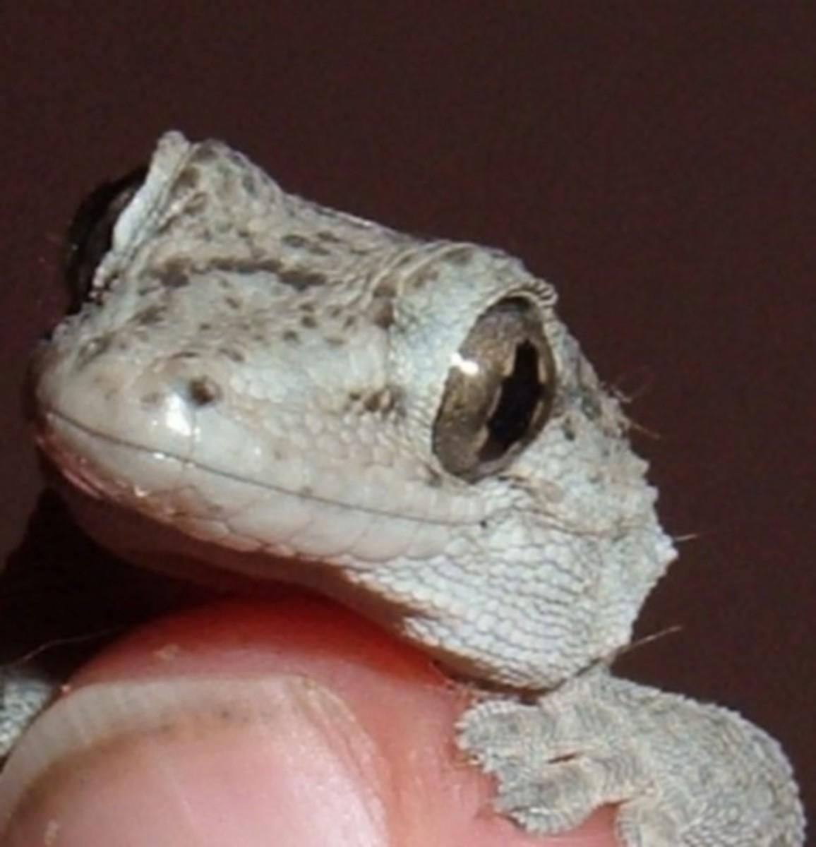 Tenerife Gecko