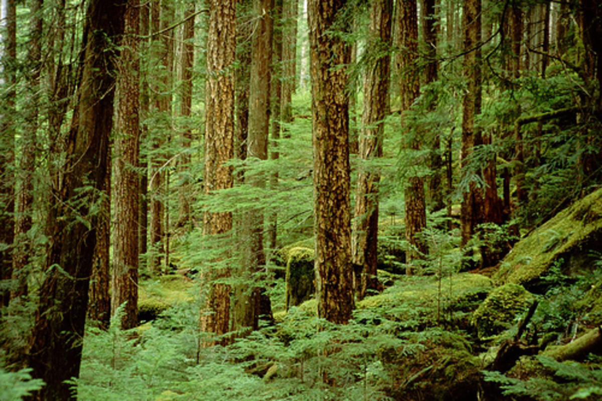 Rainforest along Elk River trail, Strathcona Park, Vancouver Island, Canada