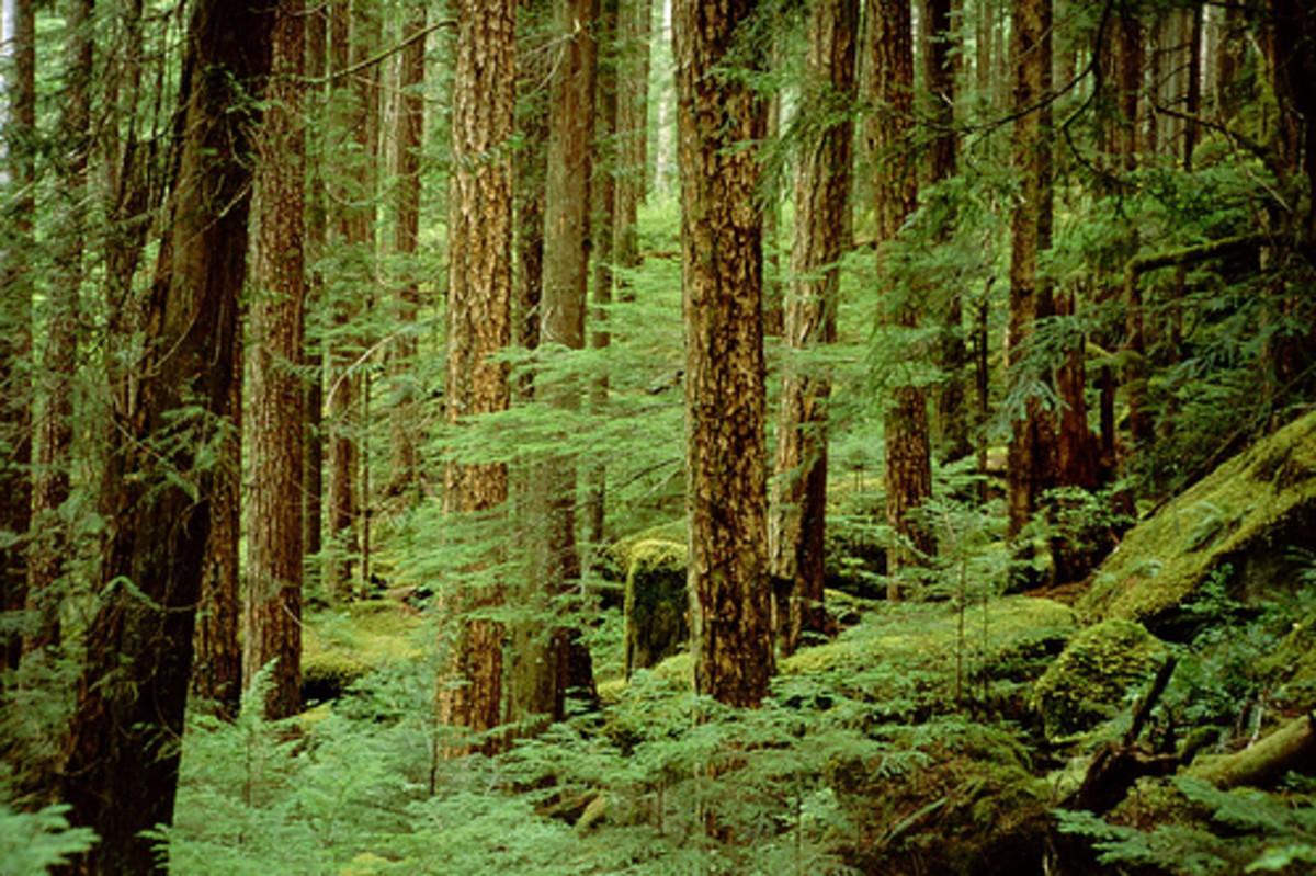 Rainforest along Elk River trail, Strathcona Park, Vancouver Island, Canada