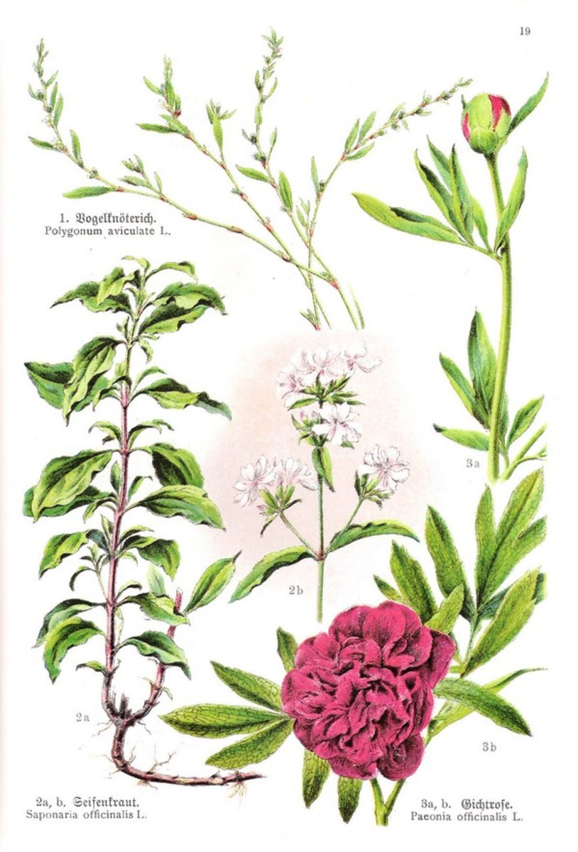 Soapwort--a plant medieval people used for making soap, washing clothing, and washing their hair
