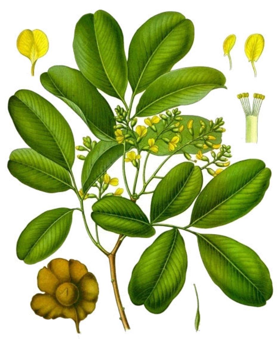 Pterocarpus marsupium or Indian Kino, Malabar Kino, Pitasara, Venga (Public domain image from Wikipedia)
