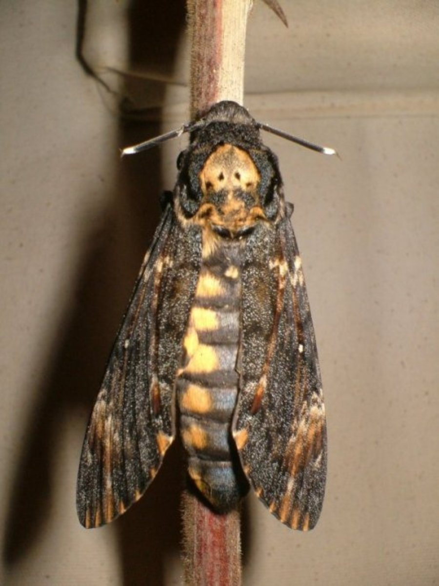 The Death's Head Hawk Moth and Hawk Moths of Tenerife and the Canary Islands