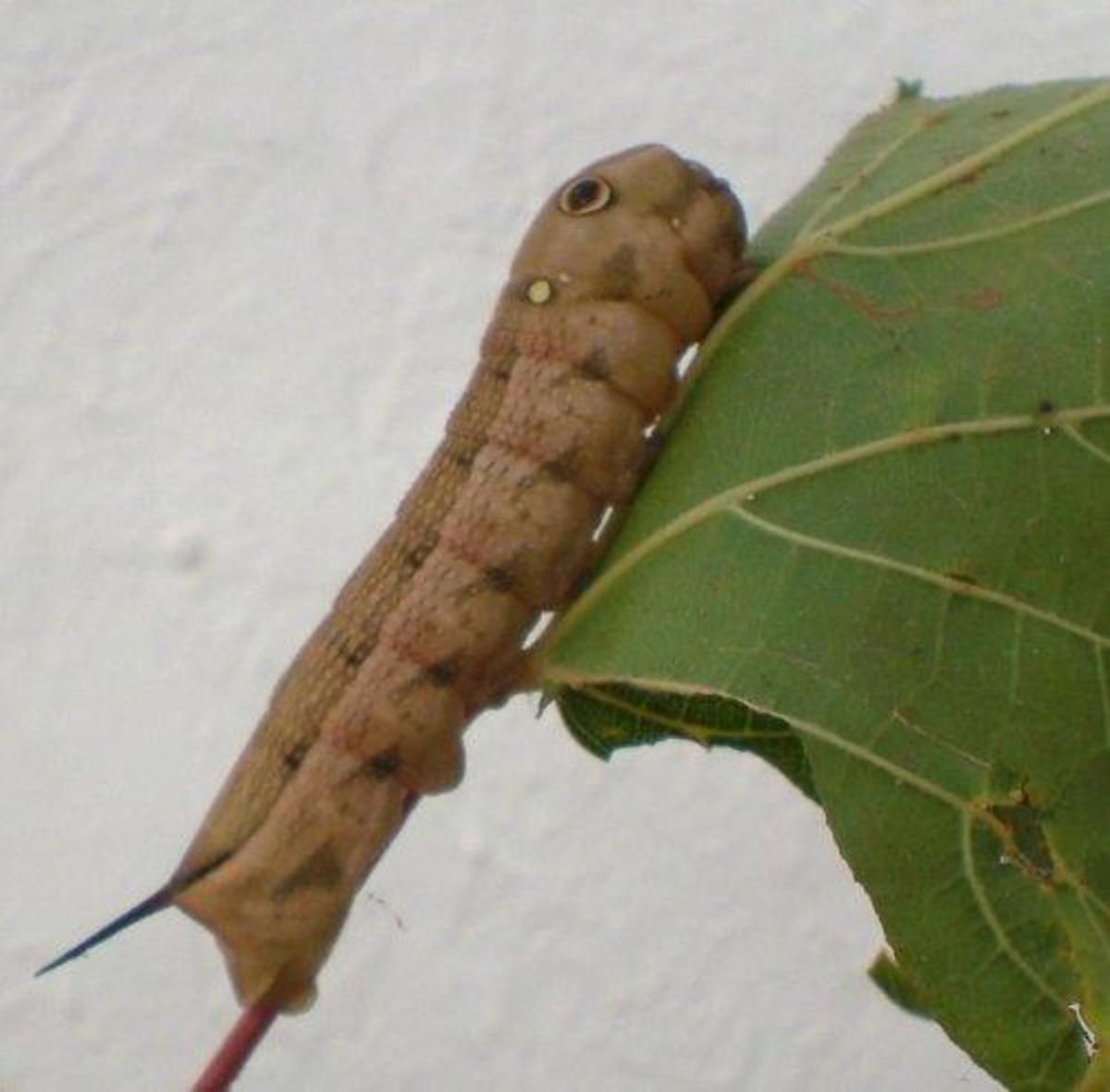 Vine Hawk Moth caterpillar