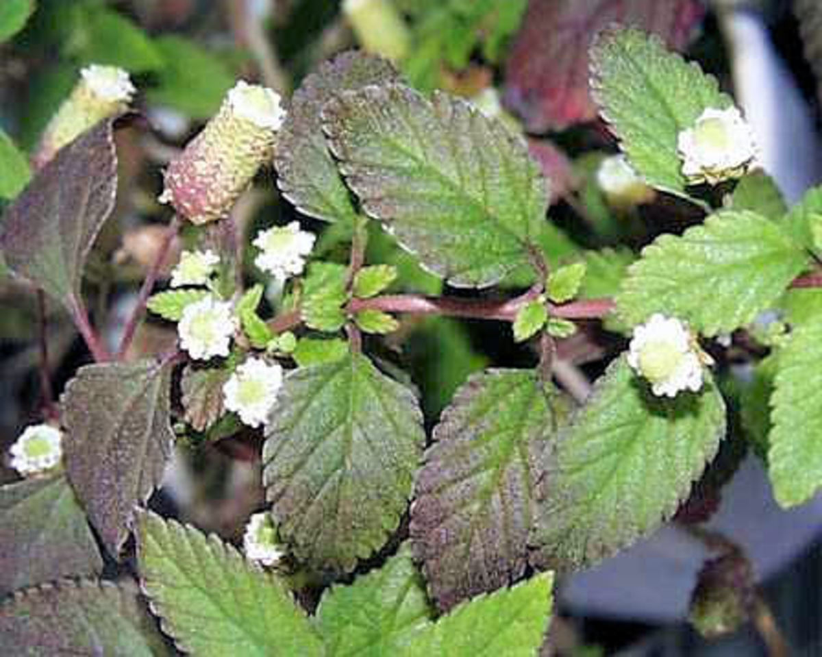 Aztec sweet herb, Lippia dulces