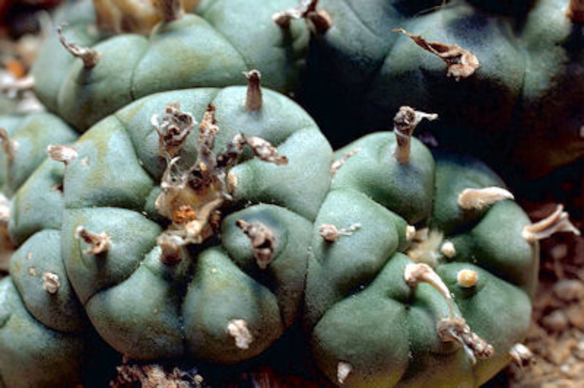 Peyote cactus (Photo from Wikipedia Commons)