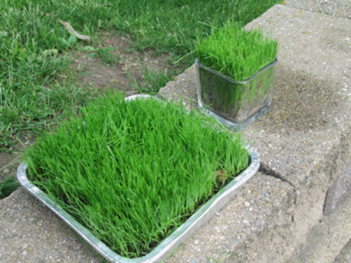 Growing My Rye Grass