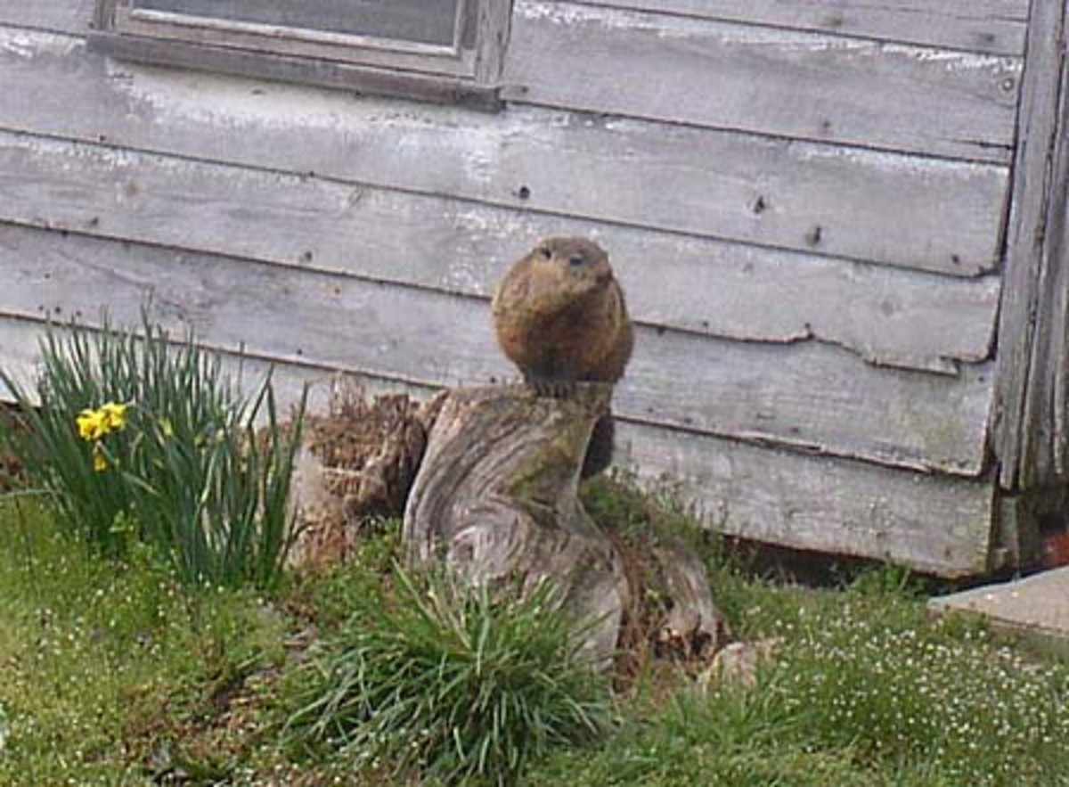 Woodchuck in the Yard.