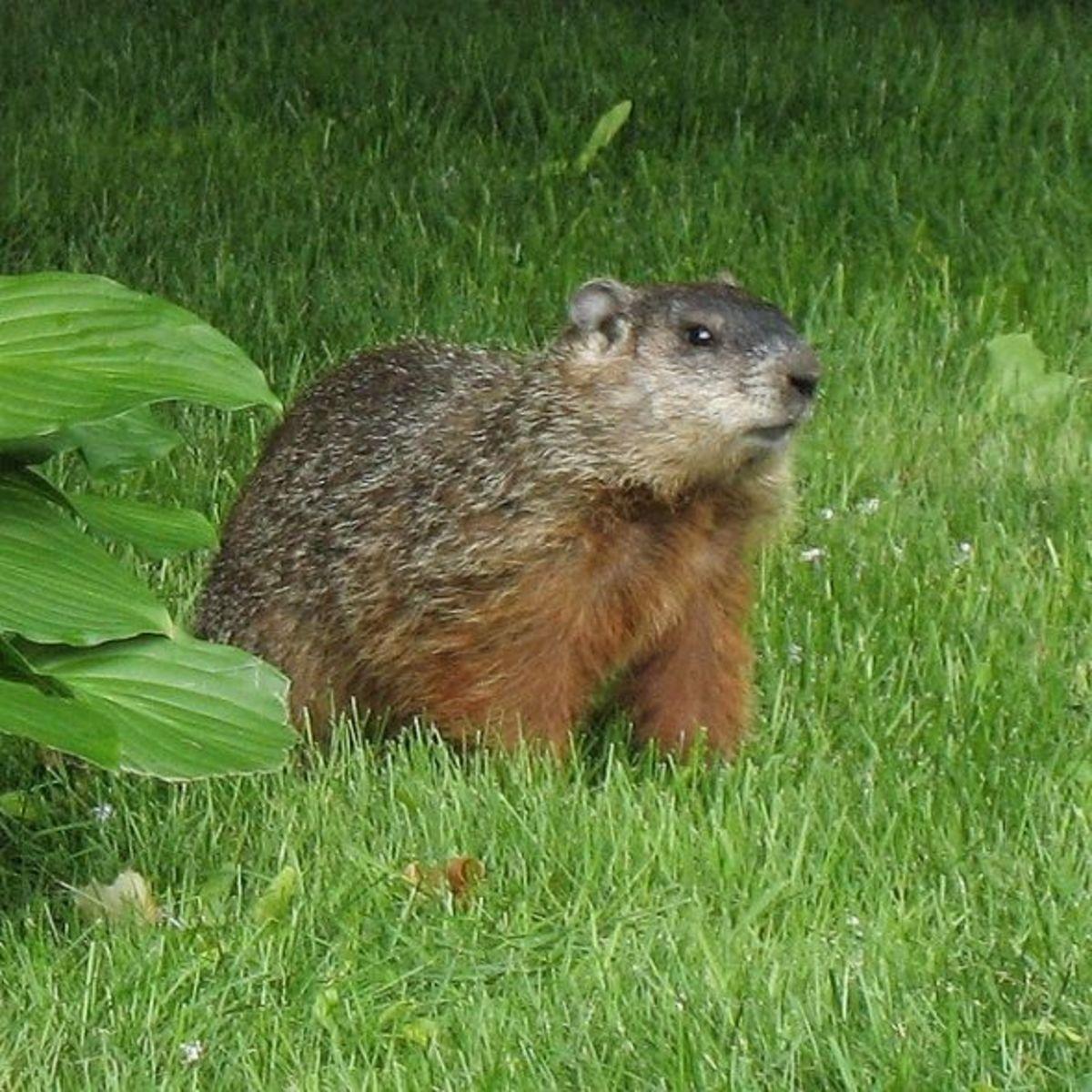 Groundhog (Marmota monax)