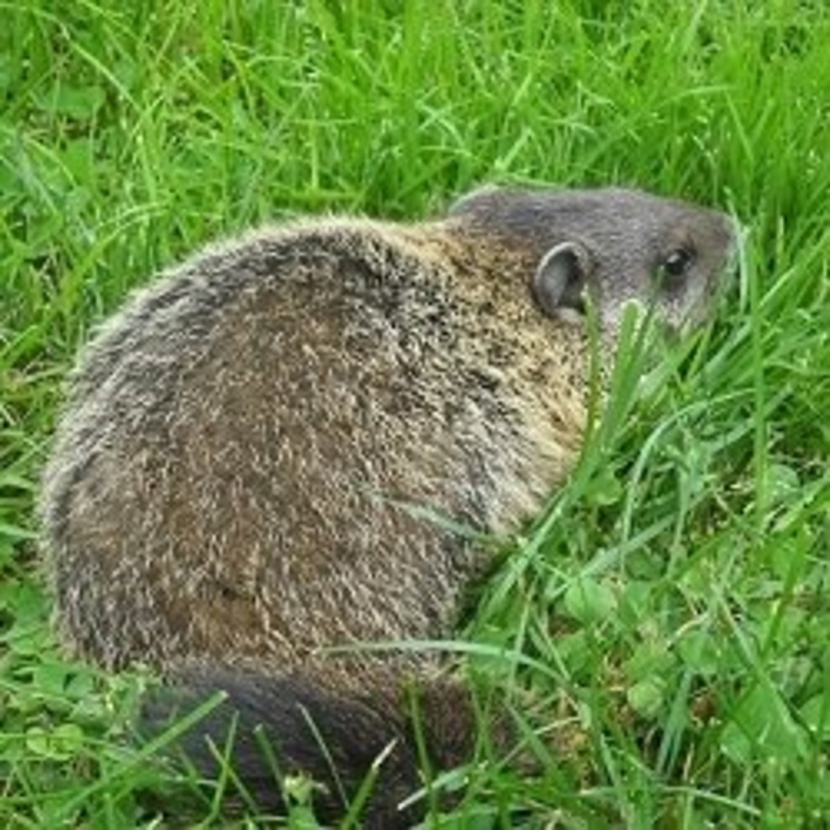One of the baby woodchucks in our backyard at Royalton Bed and Breakfast