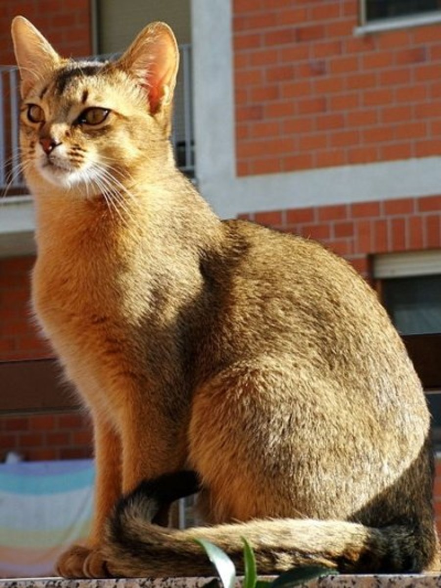 "Abyssinian Tabby. These cats have the ""ticking"" gene, showing their stripes on their tails, paws, and in the M on their forehead"