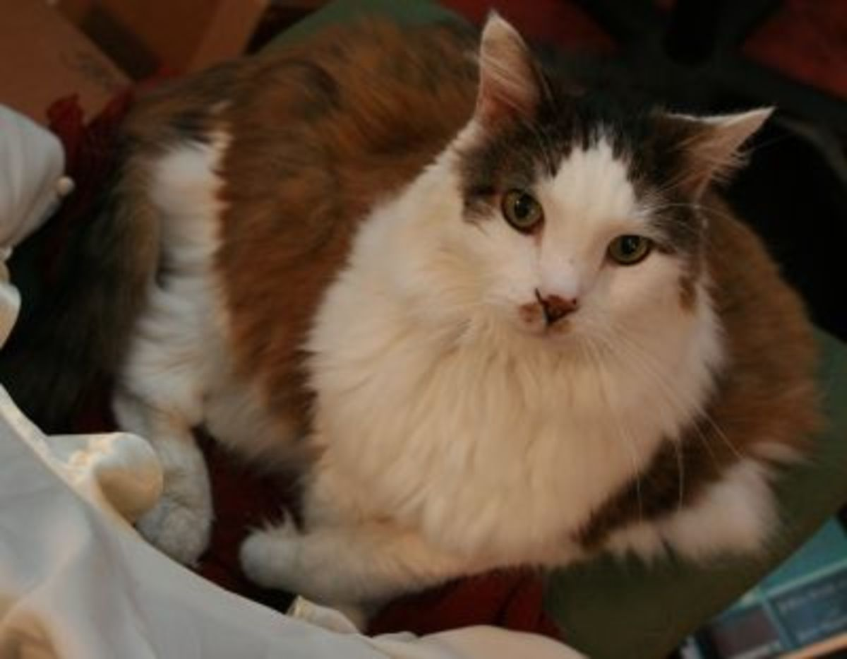 Piglet, my co-kitty.  She's a bi-color Maine Coon mix, brown tabby with white.