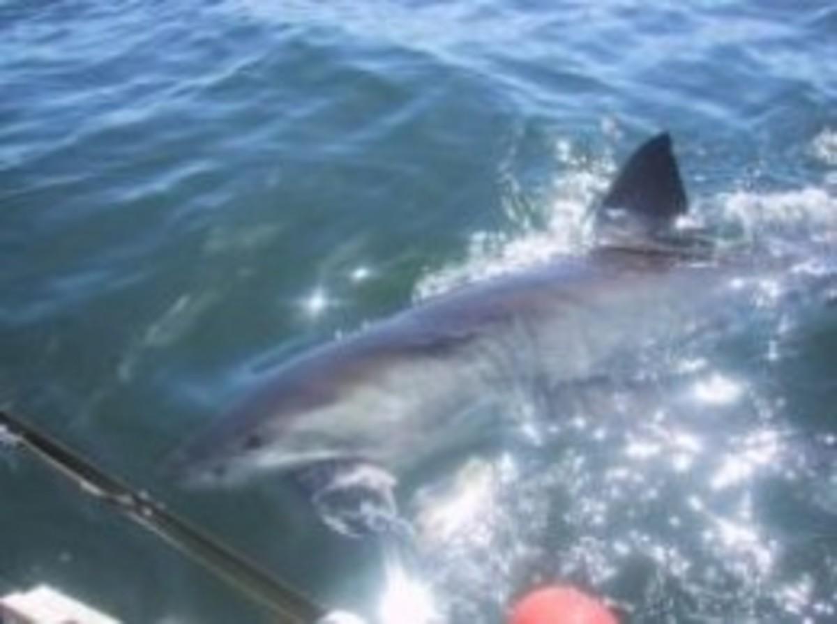 great white shark feeding