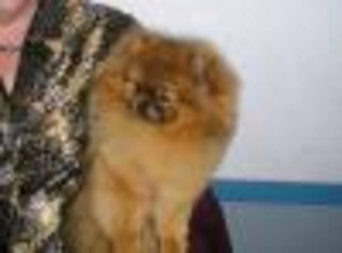 A Red Pomeranian