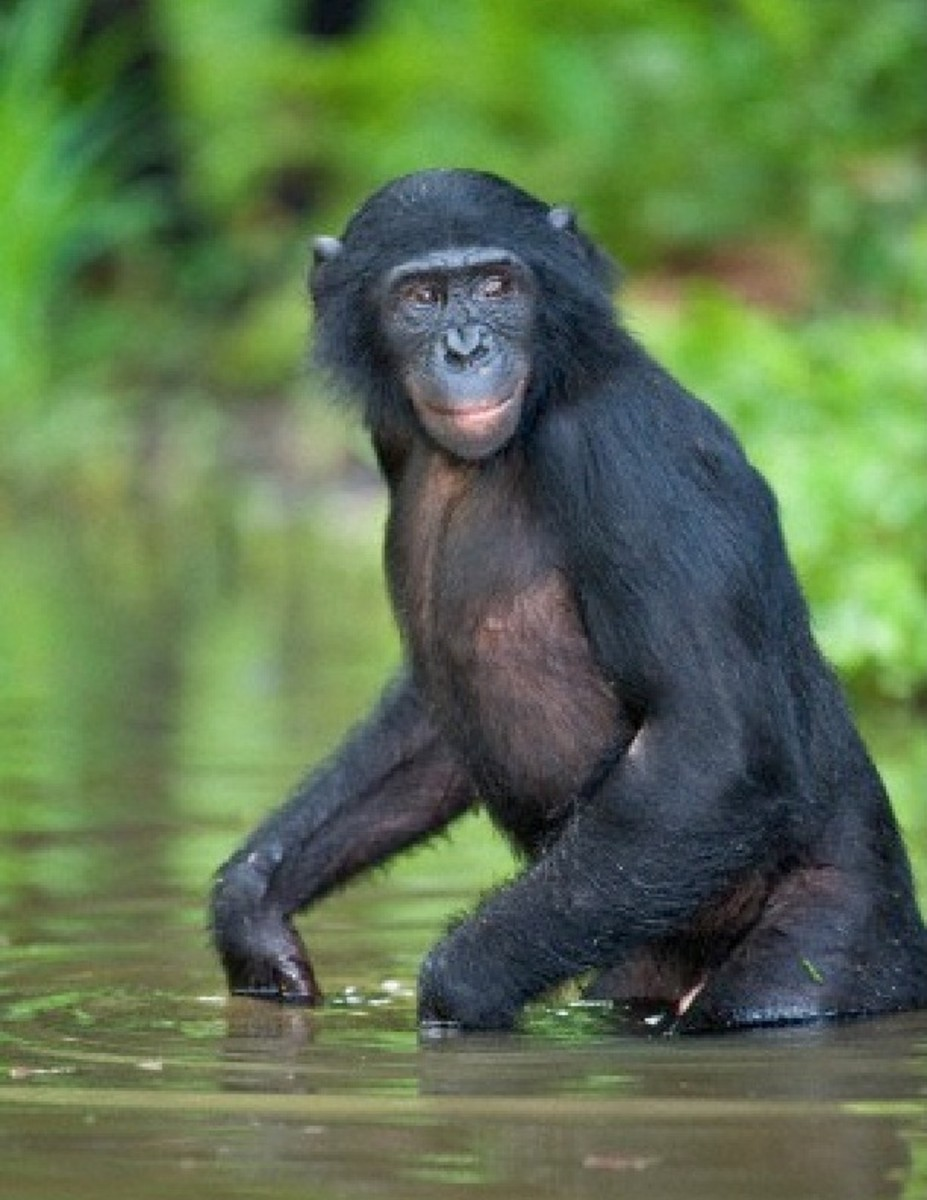 A Bonobo ape wading the the water. The Aquatic Ape Theory shows that it was wading that taught humans to walk upright.