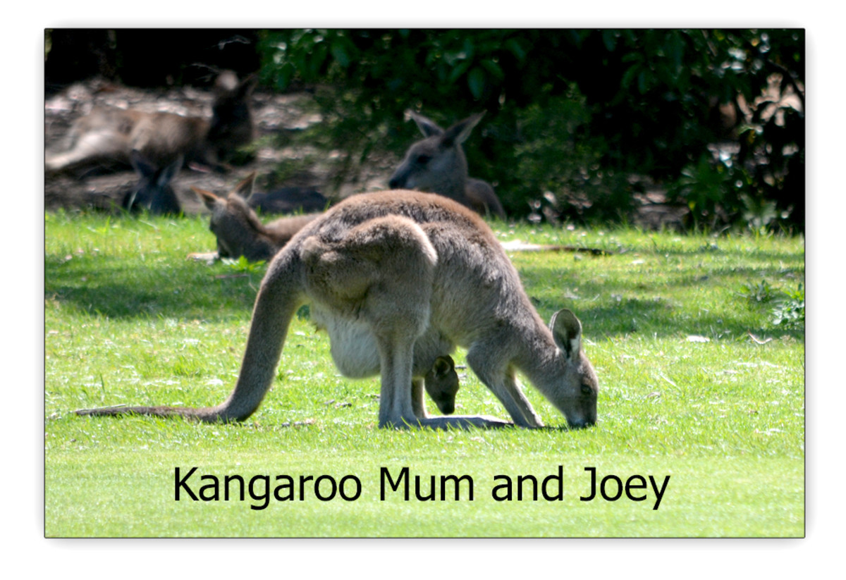 Kangaroo mother with Joey in her pouch