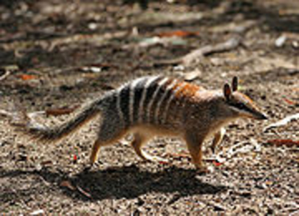 Numbat also known as Marsupial Anteater