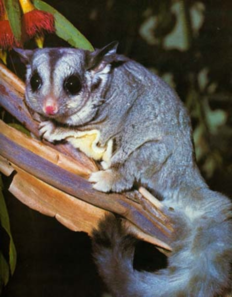 The Sugar Glider our cutest little marsupial