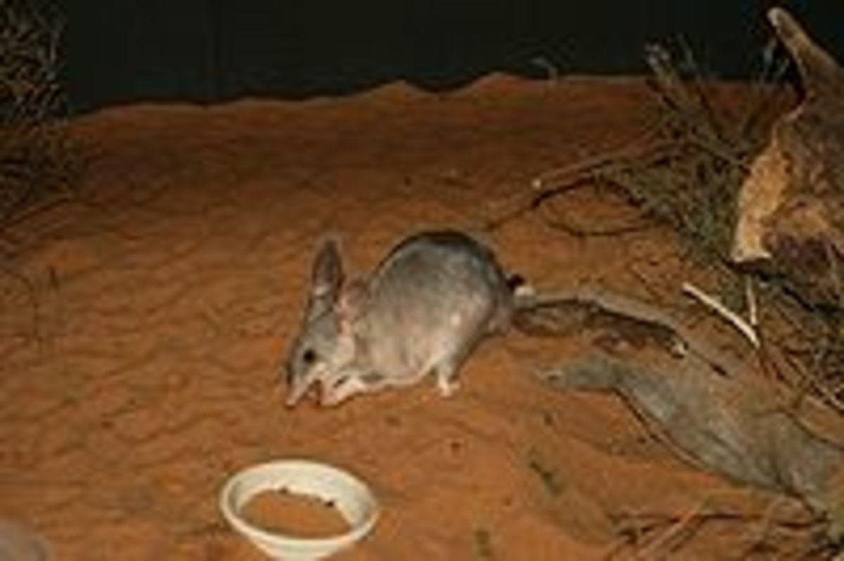 An Australian Bilby