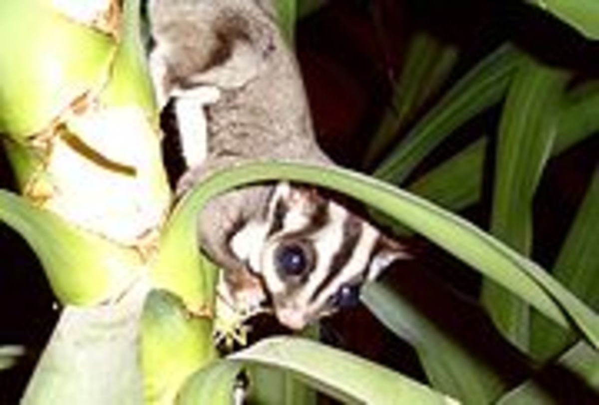 Cute little Sugar Glider