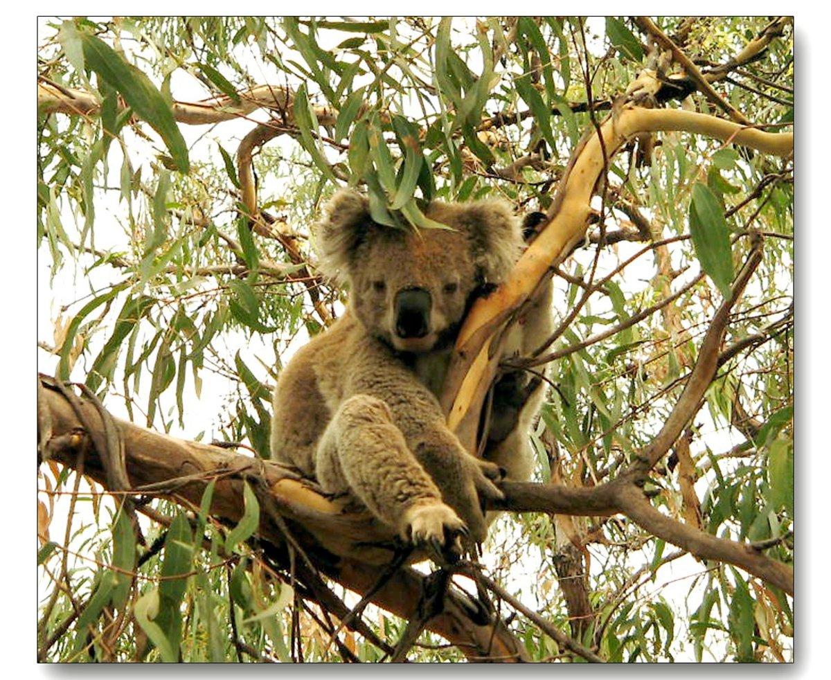 A real live cute Australian Koala