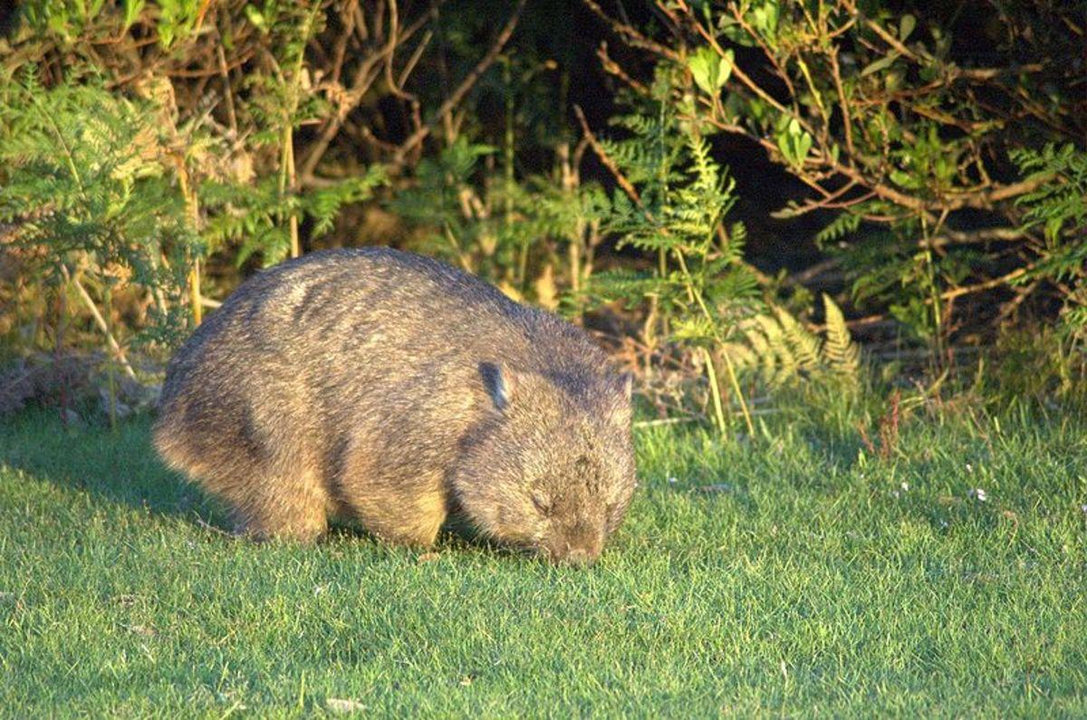 The cuddly but not always friendly Australian Wombat