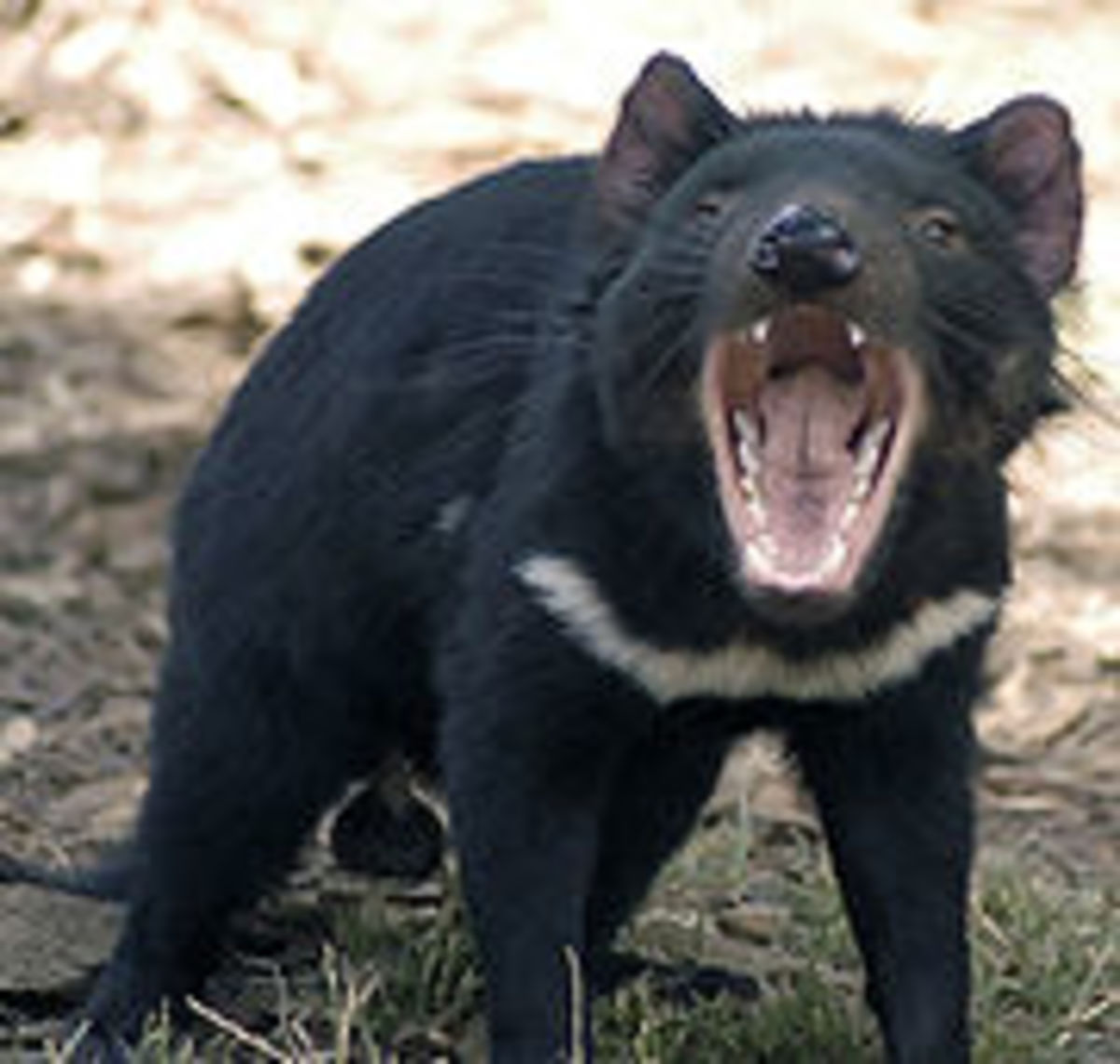 The very well named Tasmanian Devil