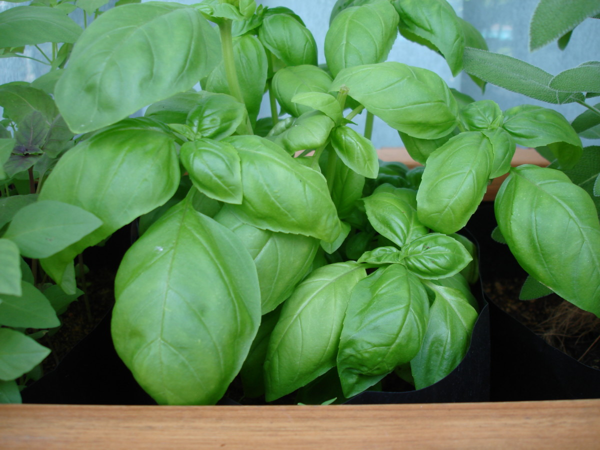 Couldn't resist more basil anyone???