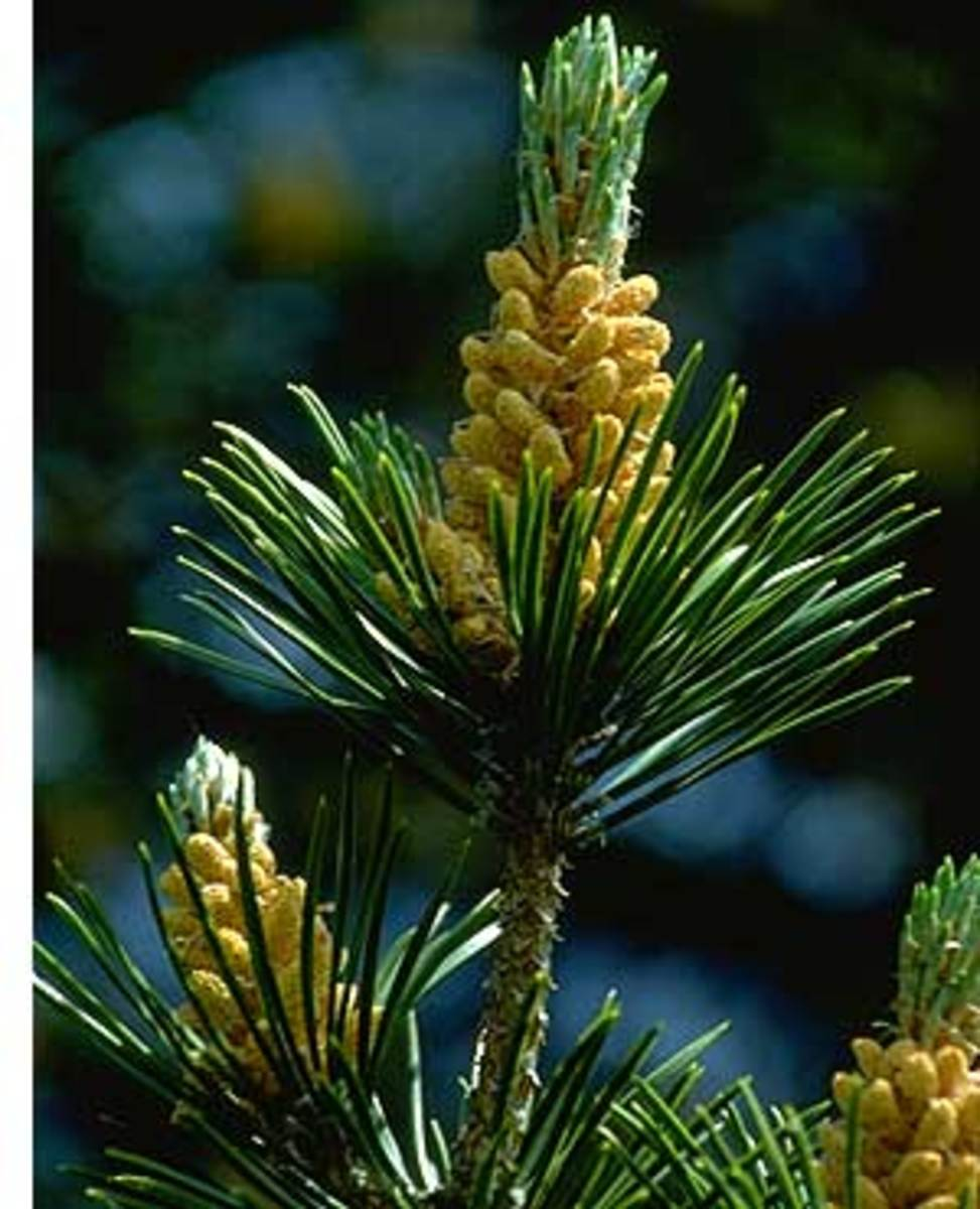 Pinus Silvestrum