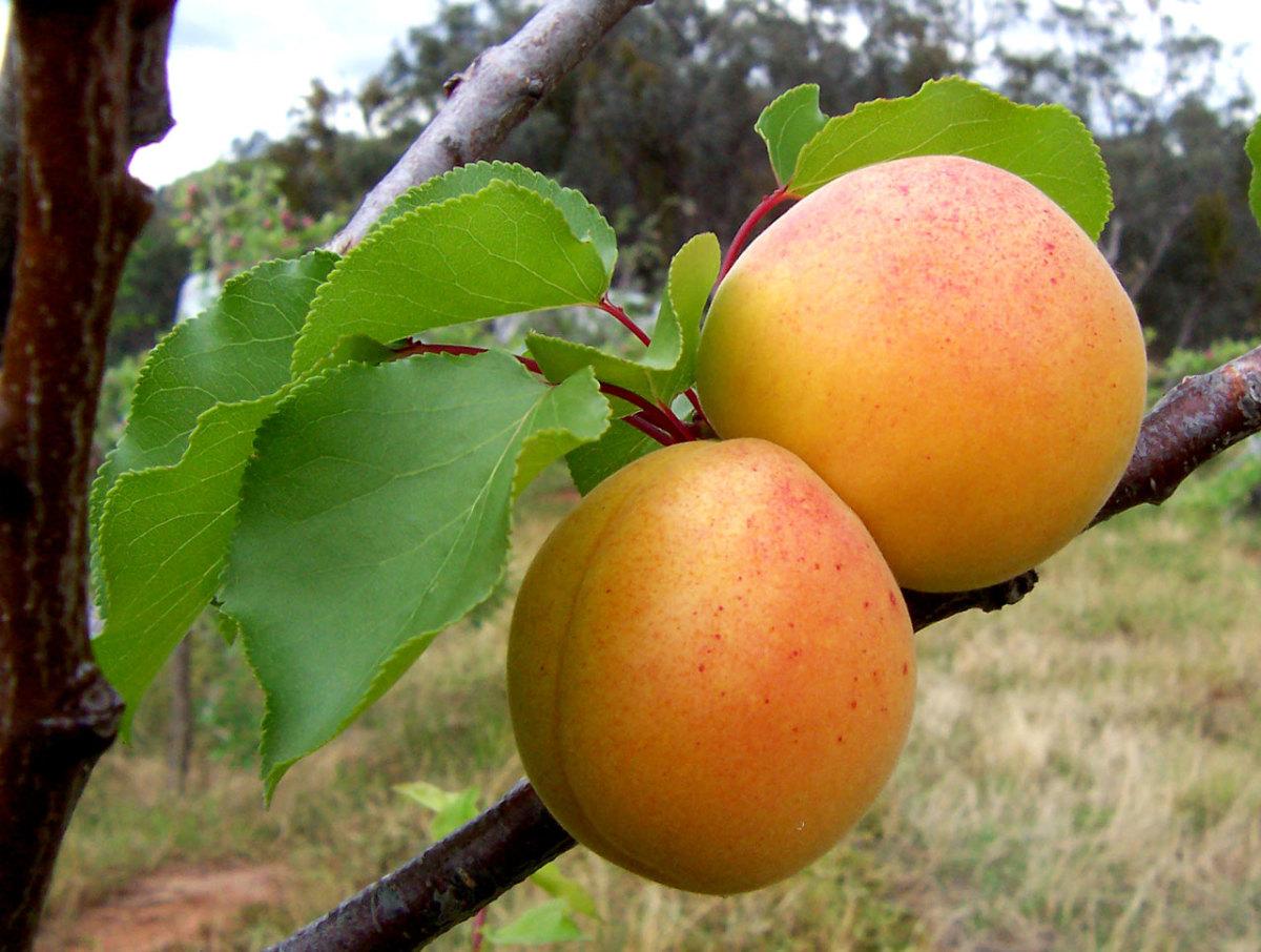 Apricotes