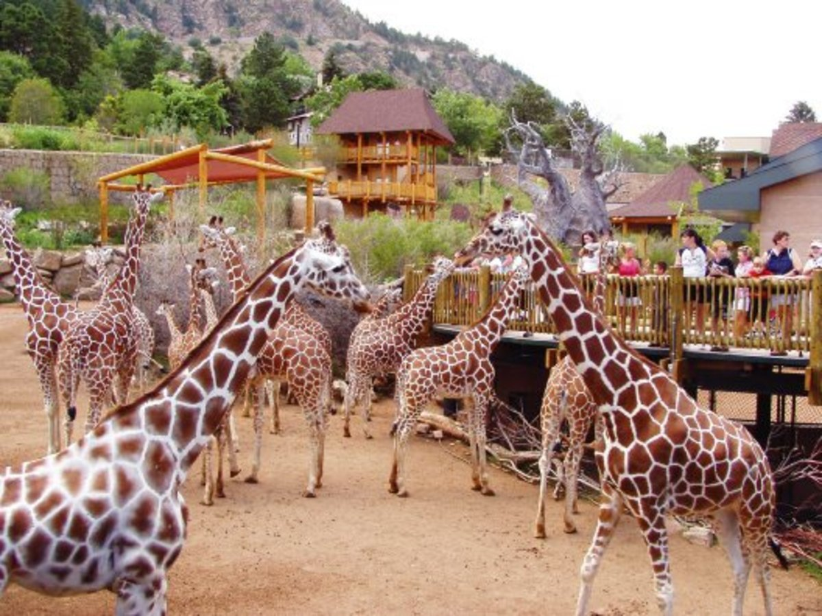 Giraffe Herd in Cheyenne Mountain Zoo