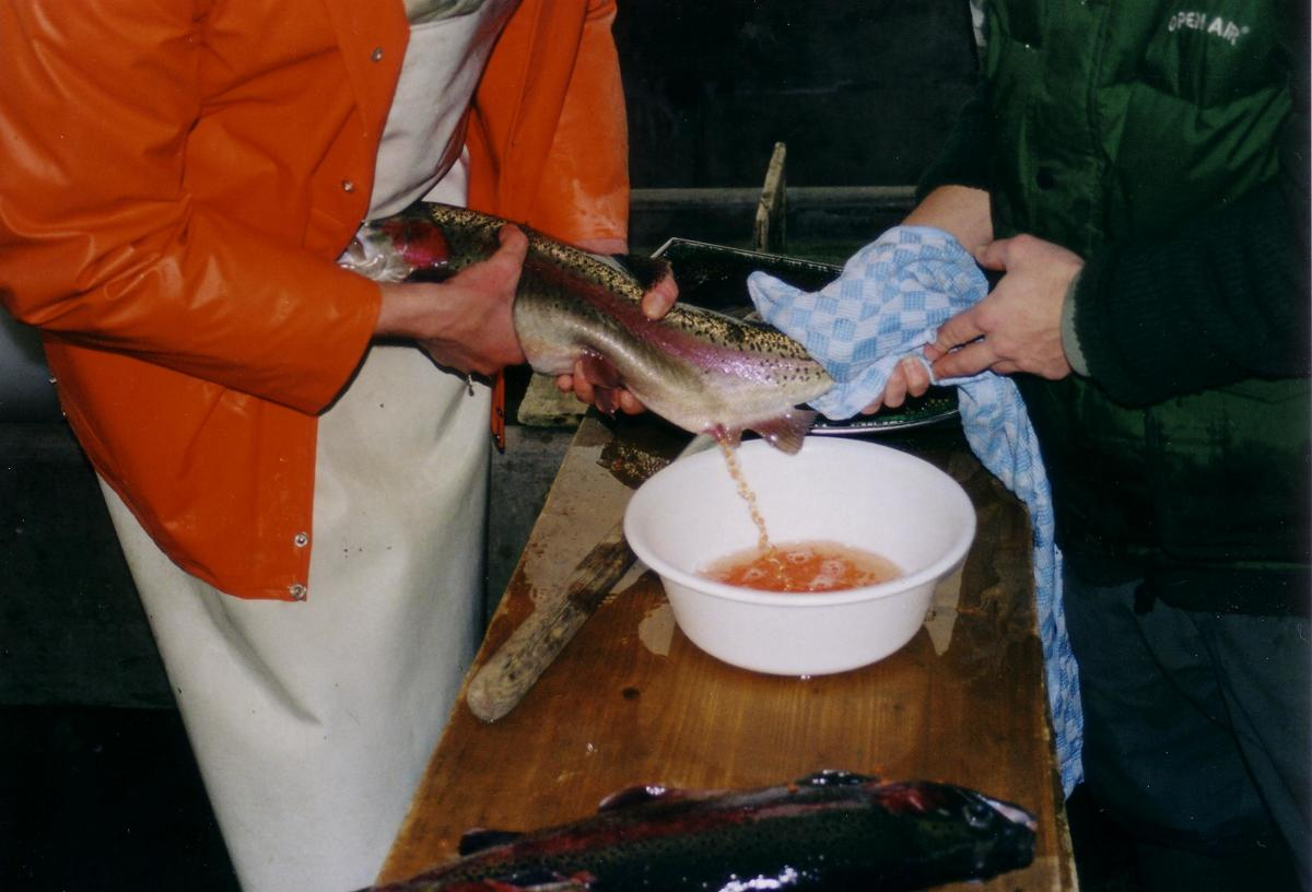 Expelling fish eggs to breed fingerlings - At a fish farm.