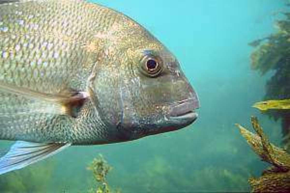 Kelp dwelling Snapper are at home in an offshore reef community.