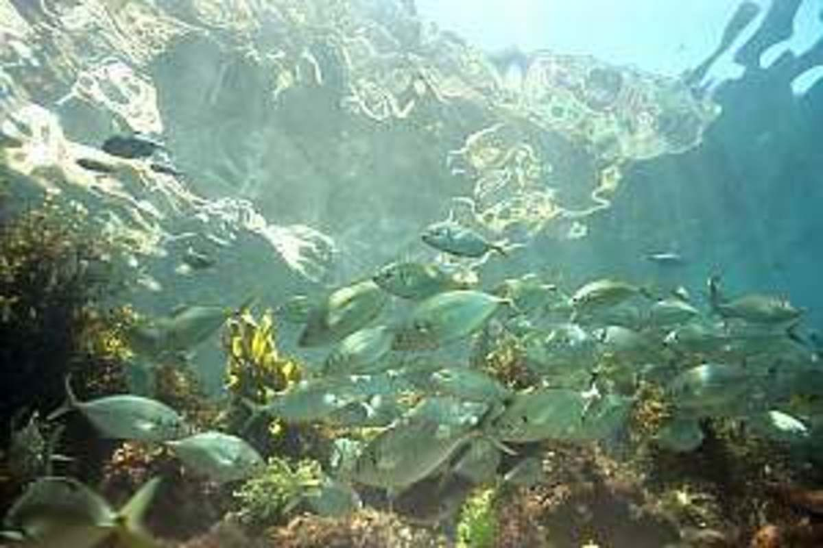 A school of young Trevally find safety in the surroundings.