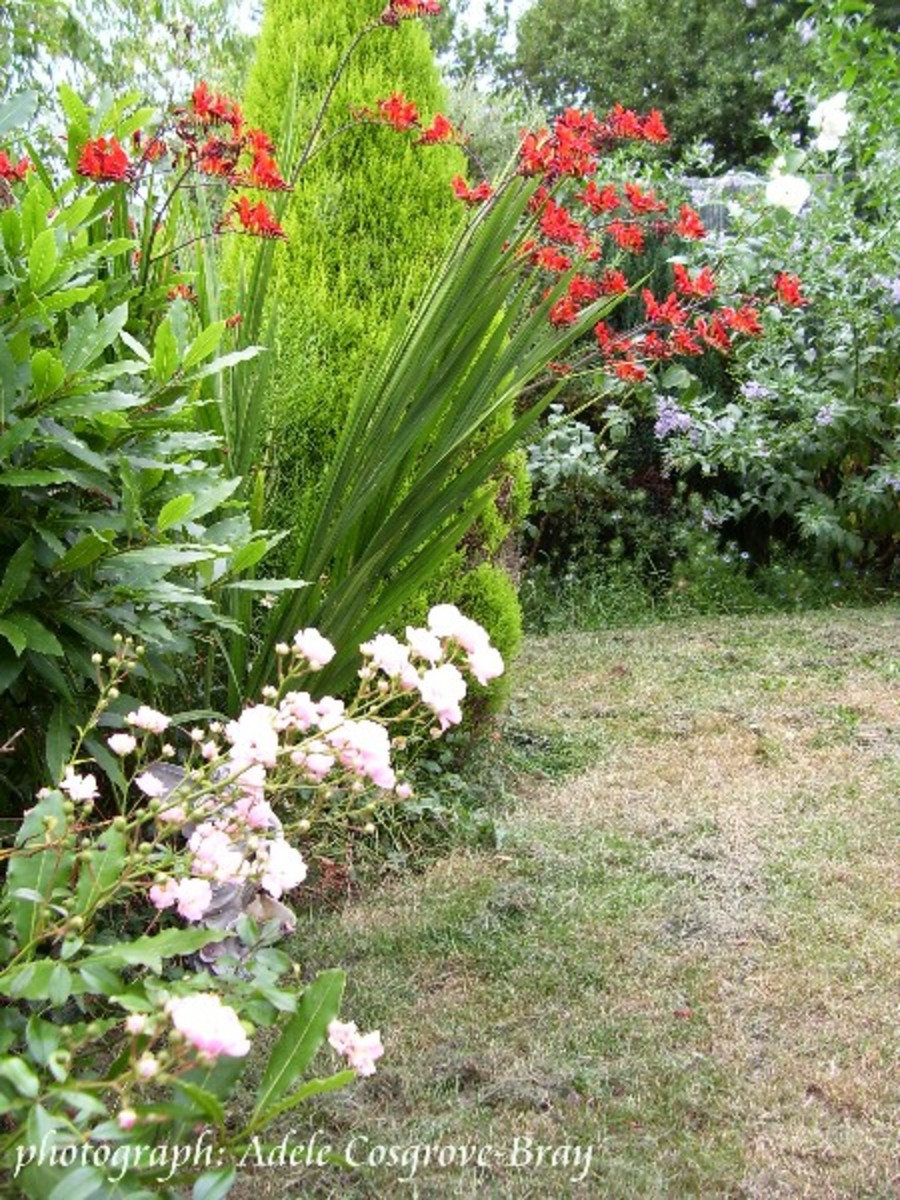 A section of the border around the circular lawn, with the crimson blooms of crocosmia lucifer in full glory.  The furious heat of the 2008 summer badly scorched the grass.