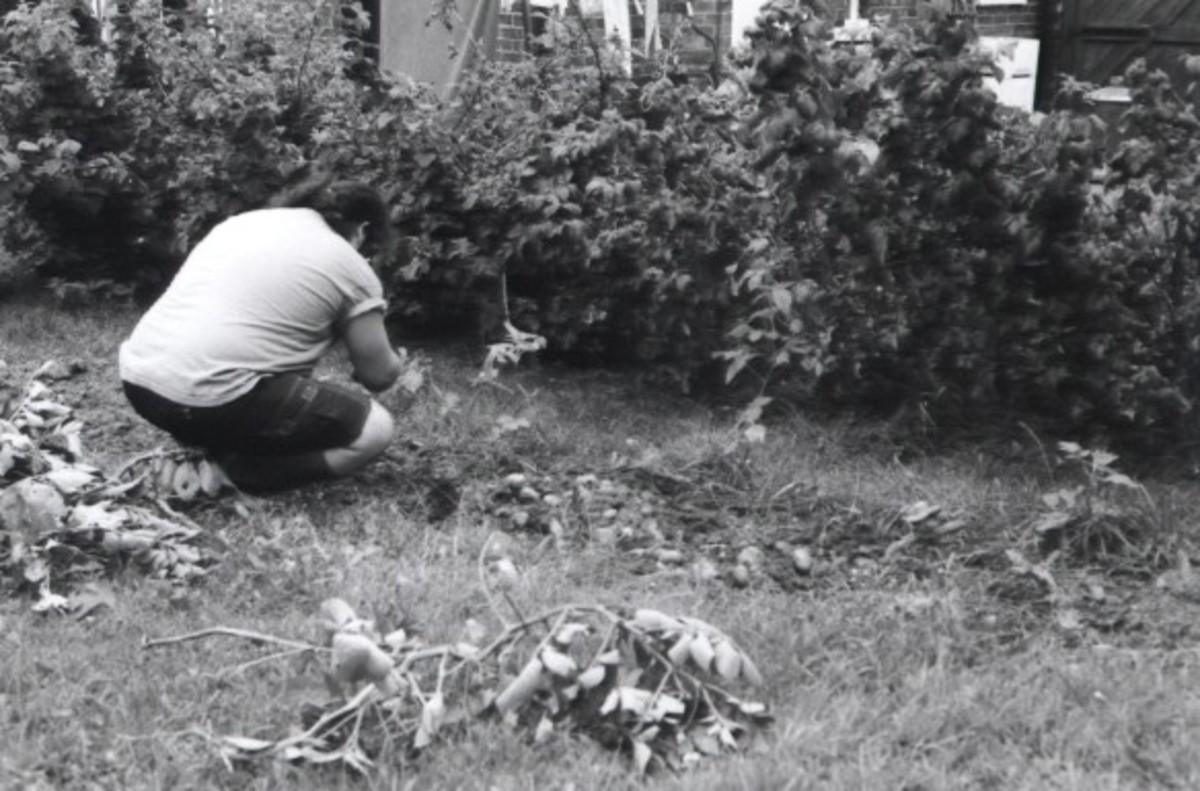 Richard harvesting our first potato crop beside the raspberry canes.