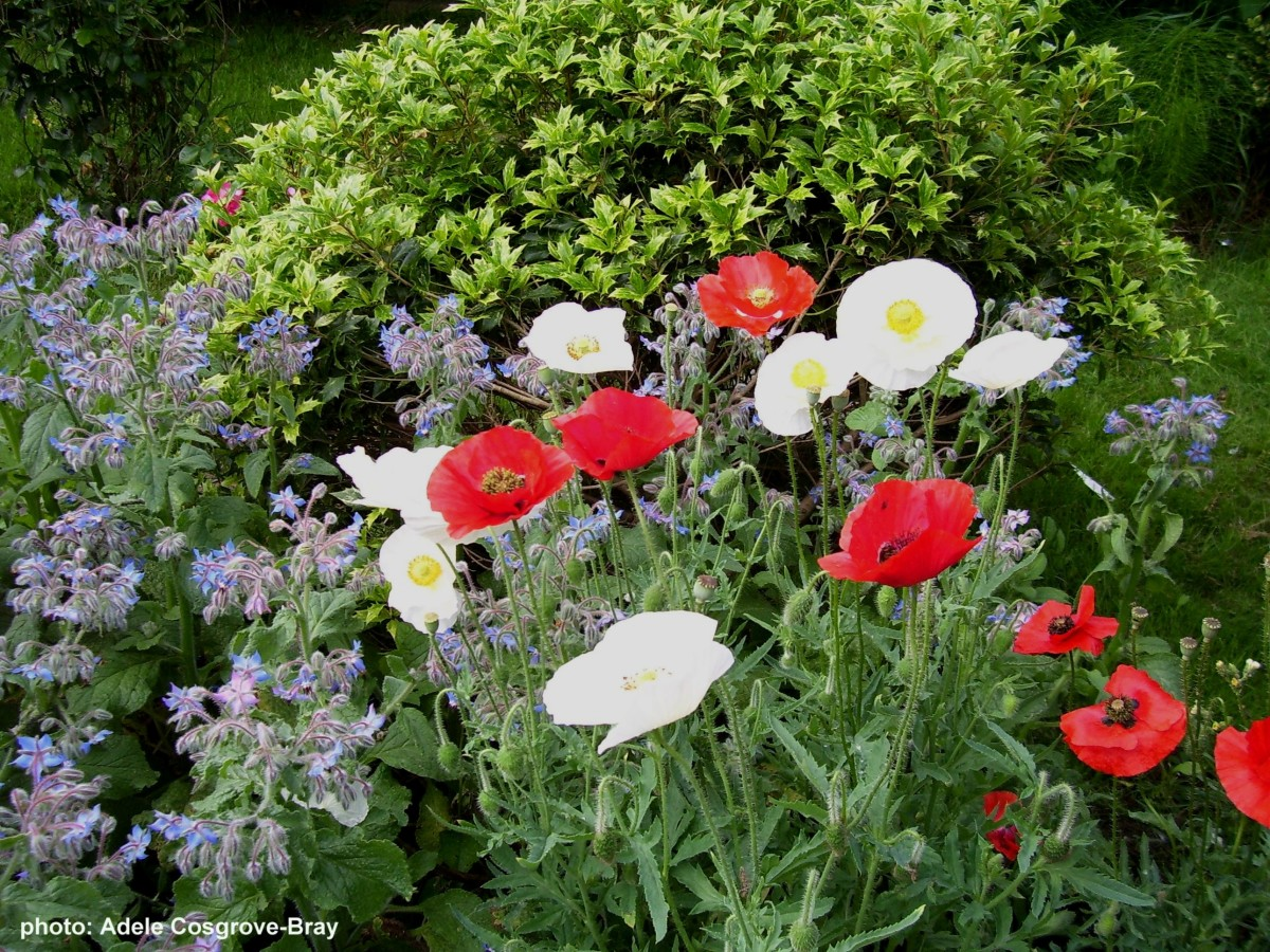 Poppies grow readily in poor soil.  Scatter the seeds in autumn and spring for colourful drifts of flowers which will self-seed for years to come. Here they grow with borage, another self-seeding plant which will attract bees and butterflies.